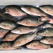 Mangrove Snapper Fish Box,
